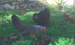 AWAKE Community backyard chickens
